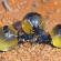 مورچه های شگفت انگیزی که عسل تولید می کنند