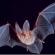 خفاشها  سرچشمه ی انتقال عفونت ویروسی بعدی به انسان