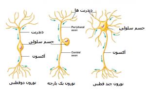 انواع نورون در دستگاه عصبی