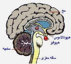 ساختمان مغز در دستگاه عصبی