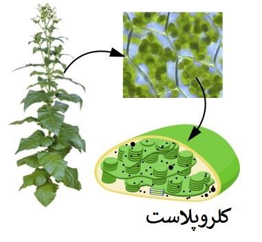 کلرو پلاست در گیاهان