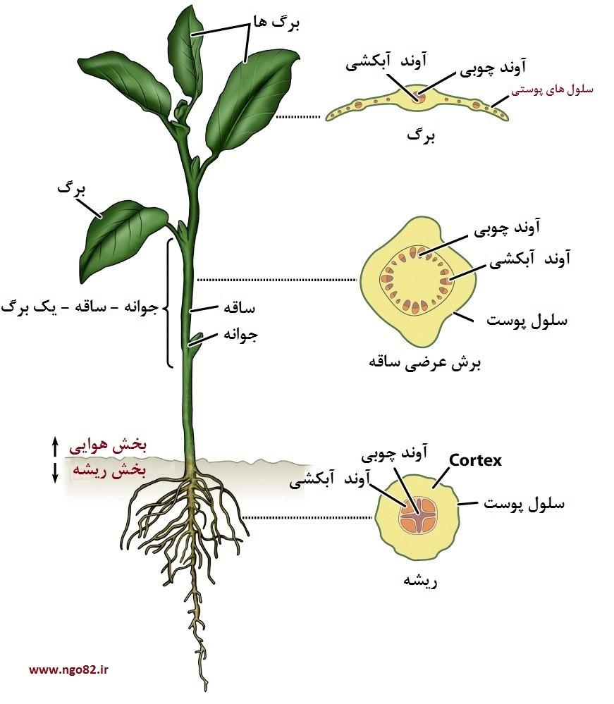 ساختمان ساقه و ریشه در گیاهان