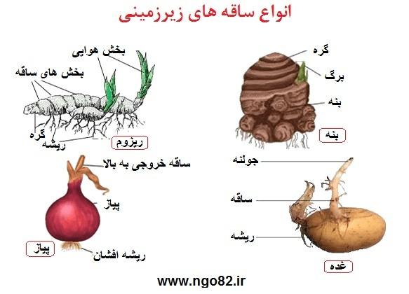 انواع ساقه ریر زمینی گیاهان