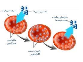 اتقال اکسیژن و گلبول های قرمز