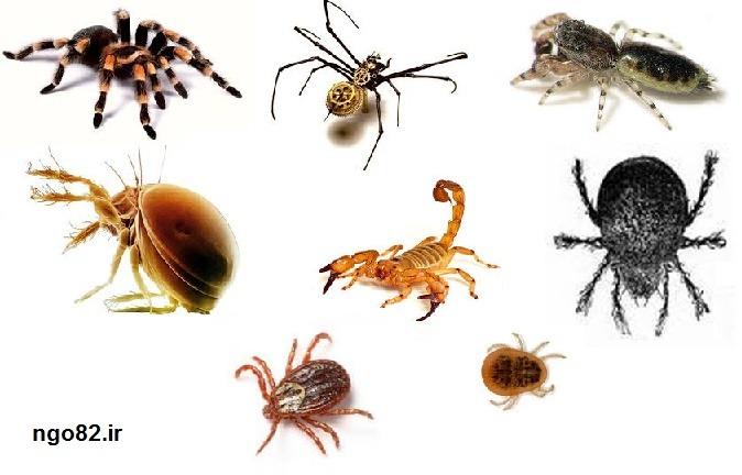 علوم نهم فصل 13 : جانوران بی مهره : انواع عنکبوتیان