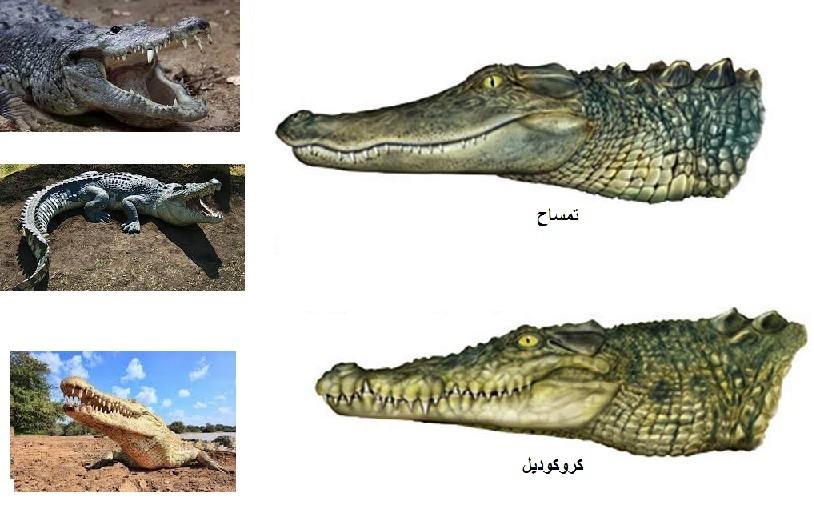 کروکودیل و تمساح