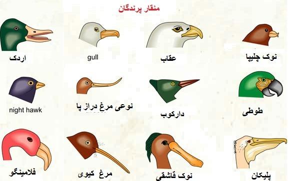 شکل منقار پرندگان