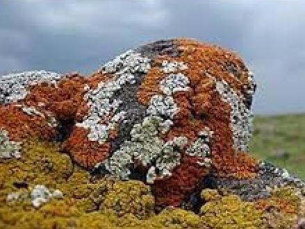 همزیستی قارچ و جلبک در گلسنگ